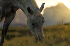 O cavalo está pastando a grama Imagens de Stock Royalty Free