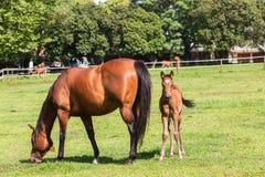 O cavalo foals exploração agrícola de parafuso prisioneiro do potro Imagem de Stock