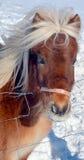 O cavalo islandês Fotografia de Stock