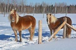 O cavalo islandês Fotos de Stock