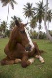 O cavalo marrom com uma tira branca em um focinho encontra-se sob a palmeira imagem de stock