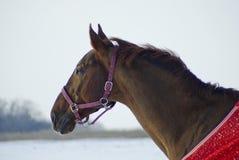 o cavalo marrom em um cavalo-pano vermelho está em um campo imagens de stock