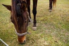 O cavalo pasta Fotos de Stock Royalty Free