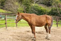 O cavalo pasta na cerca Fotos de Stock Royalty Free