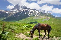 O cavalo pasta nas montanhas de Svaneti, Mestia cavalo no terreno montanhoso na montanha contra o fundo da montagem Ushba fotografia de stock