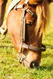 O cavalo pasta o macro Foto de Stock
