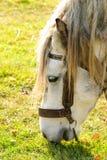 O cavalo pasta o macro Foto de Stock Royalty Free