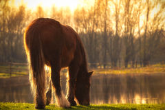 O cavalo pasta pelo lago na luz do sol Fotografia de Stock Royalty Free