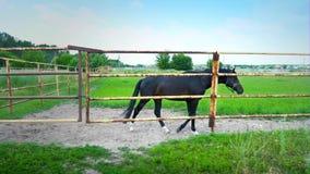 O cavalo preto atrás da cerca do ferro, uma surpresa nova no prado video estoque