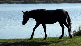 O cavalo preto peludo vai beber a água em um banco do lago no slo-mo filme