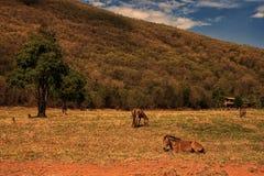 O cavalo que encontra-se e pasta Imagens de Stock