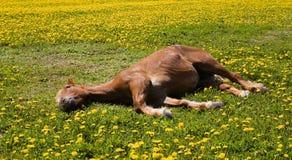 O cavalo relaxa horas de verão Moscou Rússia da grama verde Foto de Stock