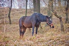 O cavalo só que é pastado em um prado Foto de Stock