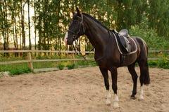 O cavalo selado está na areia Imagem de Stock