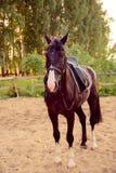 O cavalo selado está na areia Fotografia de Stock