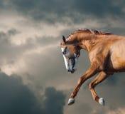 O cavalo selvagem corre o close up imagem de stock