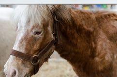 O cavalo tem poses Imagem de Stock Royalty Free