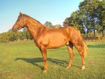 O cavalo vermelho bonito Foto de Stock Royalty Free