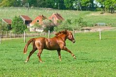 O cavalo vermelho bonito Fotos de Stock