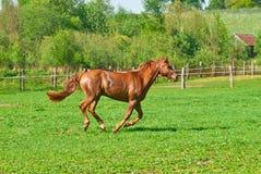 O cavalo vermelho bonito Fotos de Stock Royalty Free