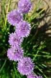 O cebolinho selvagem aglomera o schoenoprasum do Allium foto de stock royalty free