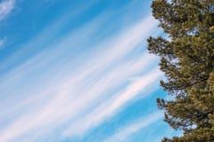 O cedro ramifica à direita, contra o céu com espaço para o texto imagens de stock royalty free