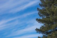 O cedro ramifica à direita, contra o céu com espaço para o texto fotografia de stock
