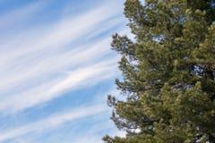 O cedro ramifica à direita, contra um fundo do céu azul com espaço para o texto fotografia de stock