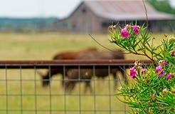 O celeiro, o prado e os longhorns de Rustin servem como o fundo para Texas Oleander Fotos de Stock Royalty Free