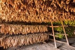 O celeiro para cigarro de secagem sae no vale de Vinales em Cubaa fotos de stock