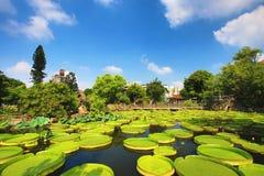 O cenário bonito do jardim com flor de lótus, Santa Cruz floresce waterlily e as folhas Fotografia de Stock Royalty Free