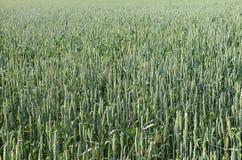 O centeio verde está amadurecendo no campo Fotos de Stock