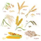 O cereal planta ilustrações dos ícones do vetor Grupo do milho do sorgo do arroz do painço do centeio da cevada do trigo da aveia Foto de Stock Royalty Free