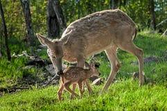 O cervo Branco-atado (virginianus do Odocoileus) cumprimenta sua jovem corça Imagem de Stock Royalty Free