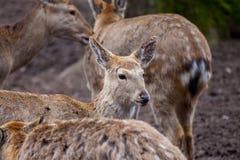 O cervo de Dybowski está em uma cena dos animais selvagens Imagem de Stock Royalty Free