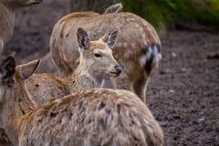 O cervo de Dybowski está em uma cena dos animais selvagens Imagens de Stock Royalty Free