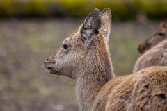 O cervo de Dybowski está em uma cena dos animais selvagens Foto de Stock