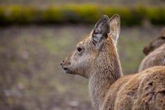 O cervo de Dybowski está em uma cena dos animais selvagens Fotografia de Stock