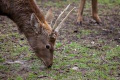 O cervo de Dybowski está em uma cena dos animais selvagens Foto de Stock Royalty Free