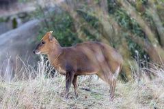 O cervo de Muntjac é muito bonito Fotografia de Stock Royalty Free