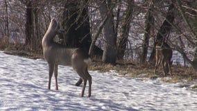 O cervo de ovas (capreolus do Capreolus) que come o ramo da maçã brota no jardim video estoque