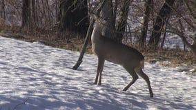 O cervo de ovas (capreolus do Capreolus) que come o ramo da maçã brota no wintergarden video estoque