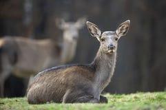 O cervo de ovas fêmea encontra-se em uma floresta foto de stock