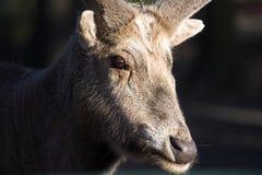 O cervo de Pere David, davidianus do Elaphurus, era quase extinto imagem de stock royalty free