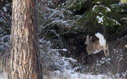 O cervo de Whitetail foge em madeiras. Foto de Stock Royalty Free