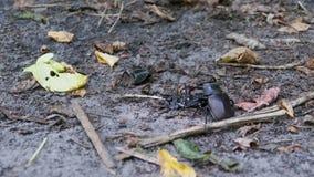 O cervo do besouro de veado empurra um besouro inoperante esmagado ao longo da terra vídeos de arquivo