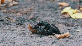 O cervo do besouro de veado empurra um besouro inoperante esmagado ao longo da terra filme