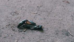 O cervo do besouro de veado empurra um besouro inoperante esmagado ao longo da terra video estoque
