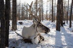 O cervo do norte da casa está sentando-se na neve Imagens de Stock