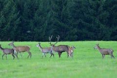 O cervo dos animais selvagens defende e mantém-se olhar o rebanho da pele de cervo durante a rotina no prado imagem de stock royalty free